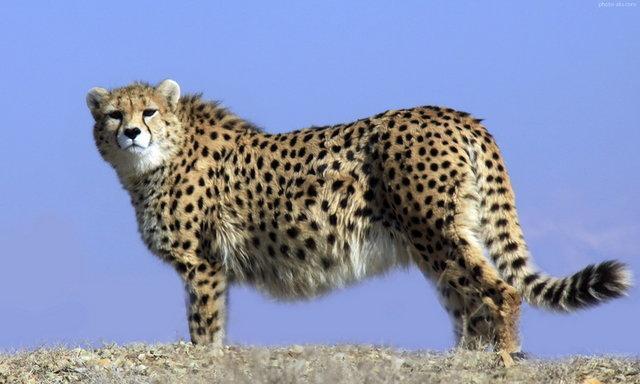 سرنوشت تکثیر یوزپلنگ ایرانی