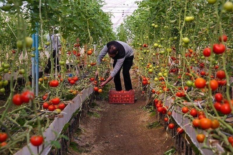 خبرنگاران فراوری محصولات گلخانه ای البرز 10 برابر می گردد