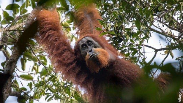 دستگیری 4 کشاورز اندونزیایی به اتهام کشتن یک اورانگوتان